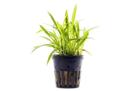 Aquaflora Echinodorus Tenellus
