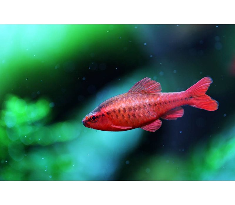 Cherry Barb - Barbus Titteya