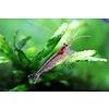 Amano Shrimp - Caridina Multidentata