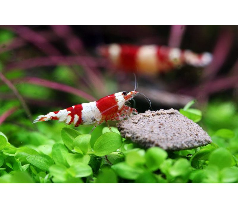 Crystal Red Garnaal - Caridina Cf. Cantonensis 'Crystal Red'