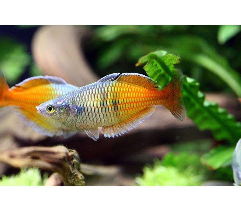 Boeseman's rainbowfish - Melanotaenia Boesemani