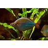 Neon Rainbowfish - Melanotaenia Praecox