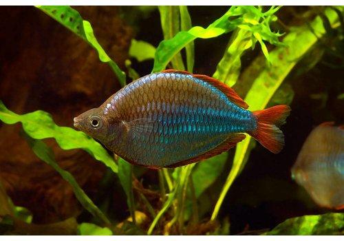 Neon Rainbowfish