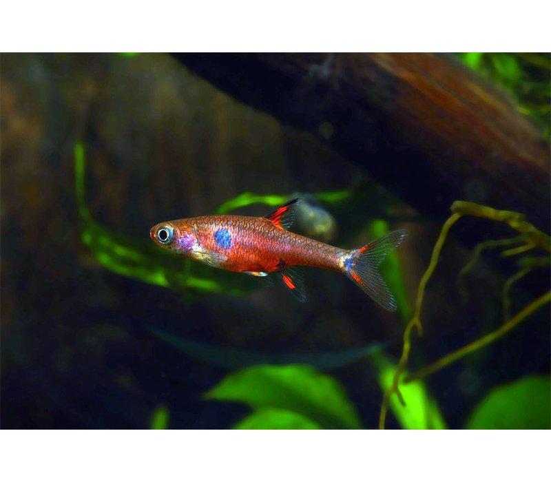 Rasbora Maculatus - Boraras Maculatus