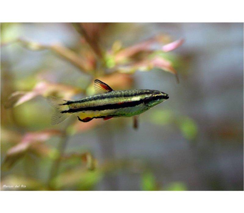 Nannostomus Marginatus - Dwergspitszalm