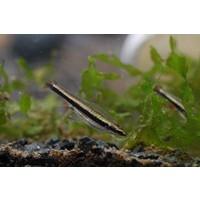 Pencilfish - Nannostomus Beckfordi