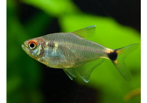 Head-and-taillight tetra