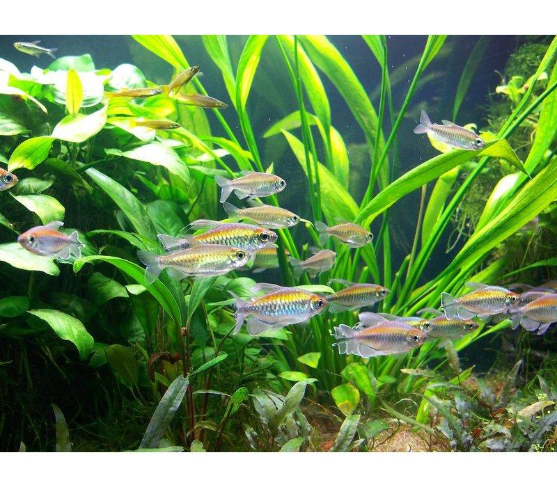 Congo Tetra - Phenacogrammus Interruptus
