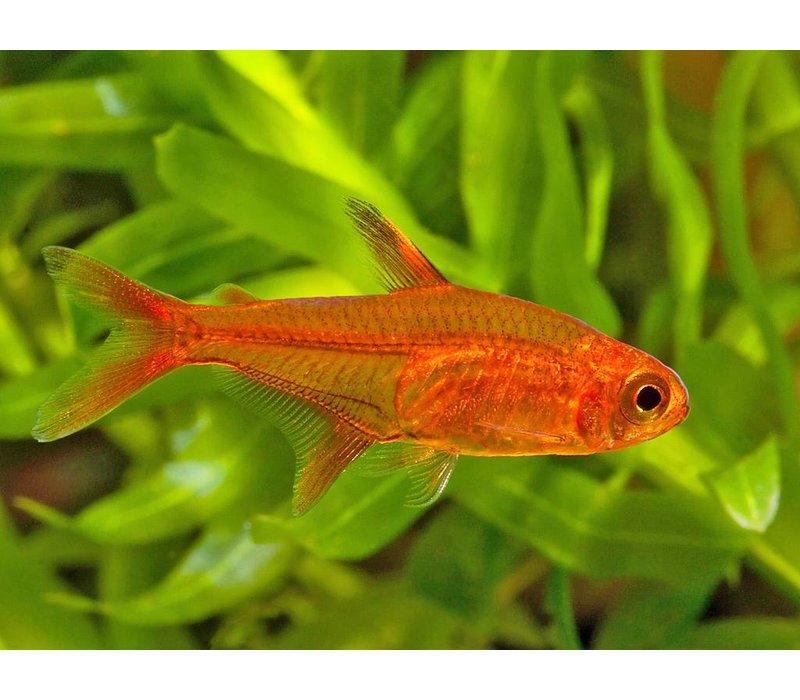 Ember Tetra - Hyphessobrycon Amandae