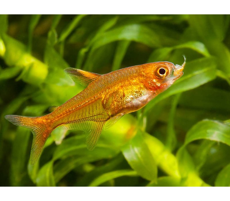 Vuurtetra - Hyphessobrycon Amandae
