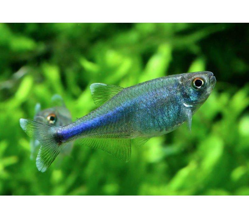 Blauwe Tetra - Boehlkea Fredcochui