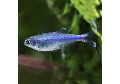 Cochu's blue tetra
