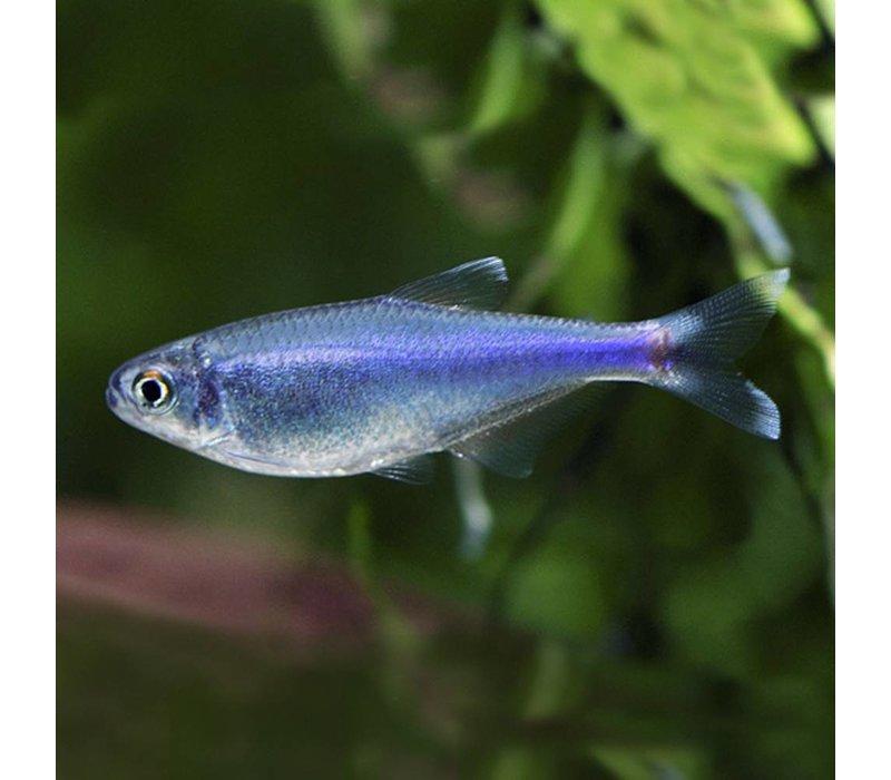 Cochu's blue tetra - Boehlkea Fredcochui