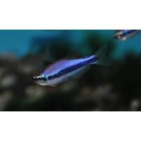 Royal Tetra Super Blue - Inpaichthys Kerri Super Blue