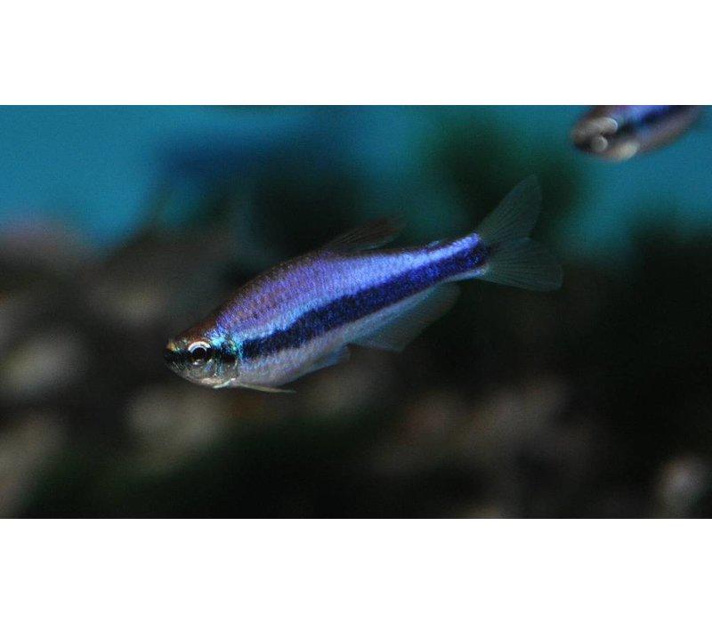 Blauwe Keizertetra Super Blauw - Inpaichthys Kerri Super Blauw