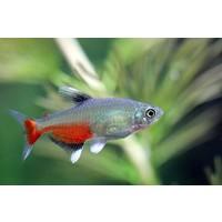 Redflank Bloodfin - Aphyocharax Rathbuni