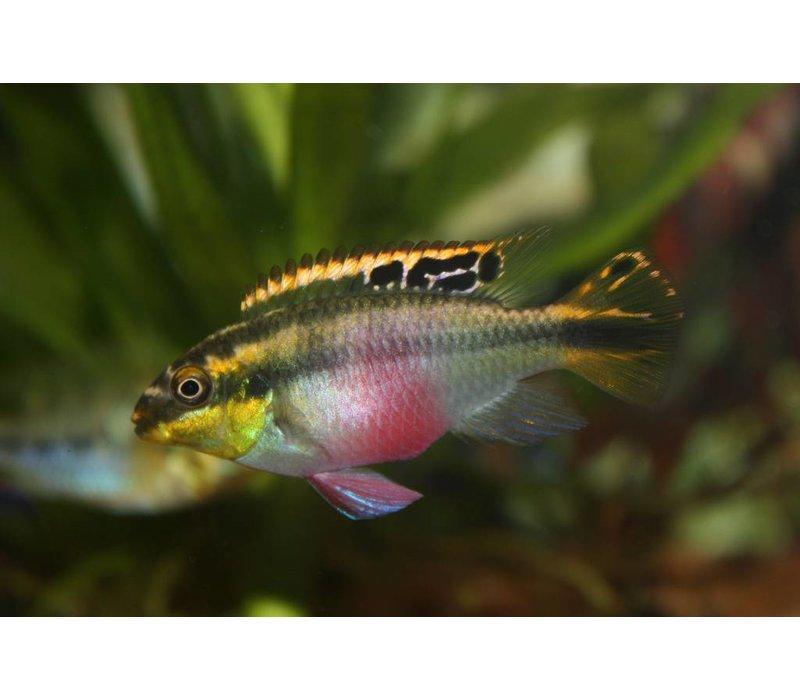Rainbow kribs - Pelvicachromis Pulcher
