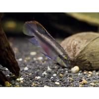 Kersenbuikcichlide - Pelvicachromis Pulcher