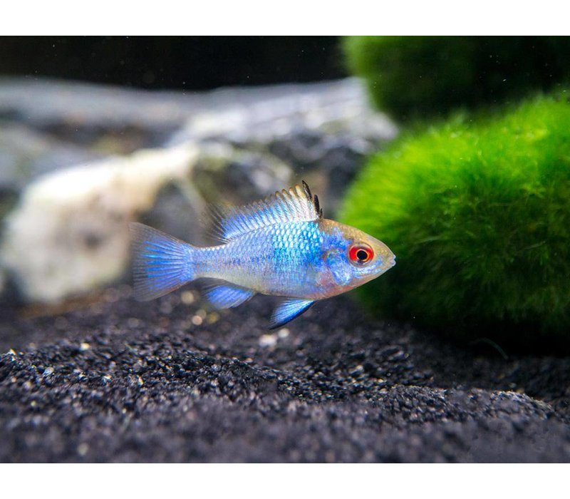 Apistogramma Ramirezi Electric Blue