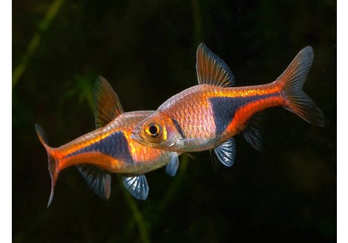 Rasbora Heteromorpha