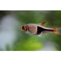 Kegelvlek barbeel - Rasbora Heteromorpha