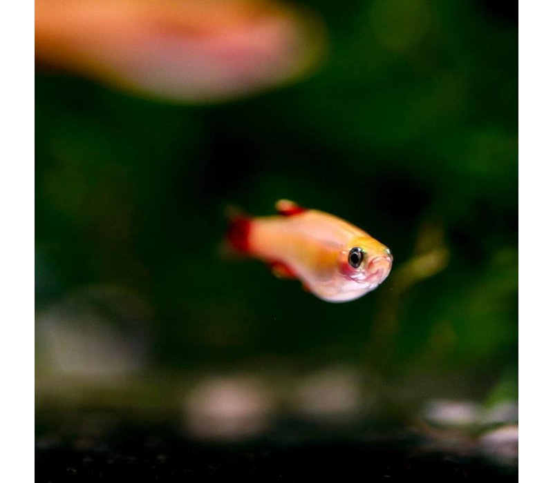 Chinese Danio (Goud) - Tanichthys Albonubes*