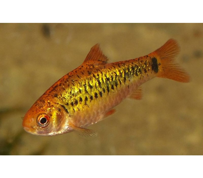 Gold Barb - Barbus Schuberti