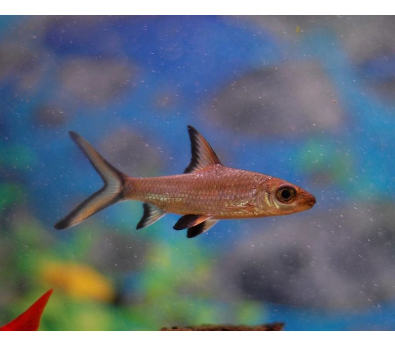 Bala Shark - Balantiocheilos Melanopterus