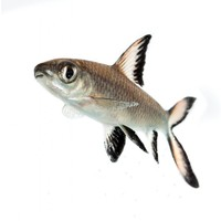 Haaienvinbarbeel - Balantiocheilos Melanopterus