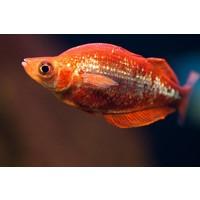 Rode Regenboogvis - Glossolepis Incisus