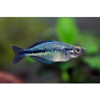 Lake Katubu Rainbowfish - Melanotaenia Lacustris