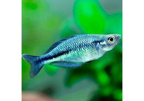 Lake Katubu Rainbowfish