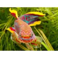 Killi Gardneri - Fundulopanchax Gardneri