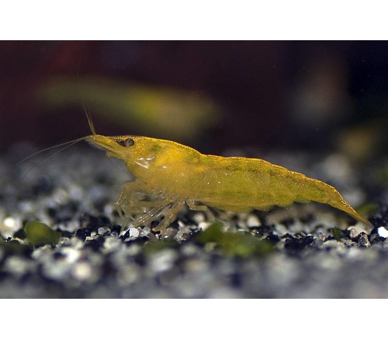 Neocaridina sp. Yellow Cherry Shrimp