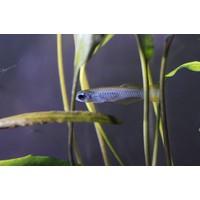 Afrikaans Blauwoogje - Aplocheilichthys Normani
