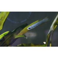 Norman's Lampeye Killi - Aplocheilichthys Normani