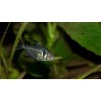Zwarte Fantoomzalm - Megalamphodus Megalopterus