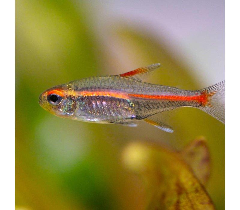 Vuurneon - Hemigrammus Erythrozonus