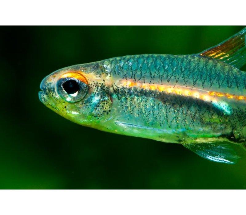 Glowlight Tetra - Hemigrammus Erythrozonus