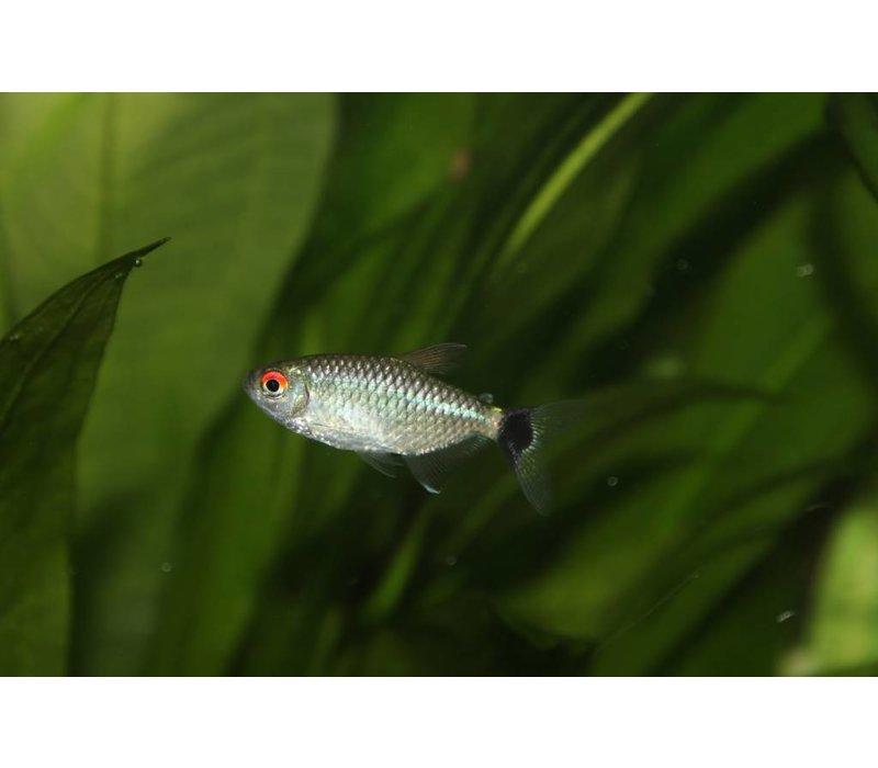 Red-Eye Tetra Moenkhausia Sanctaefilomenae