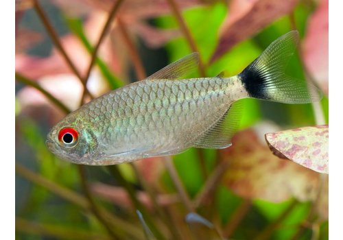 Red-Eye Tetra
