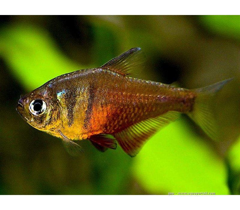 Rode Rio - Hyphessobrycon Flammeus