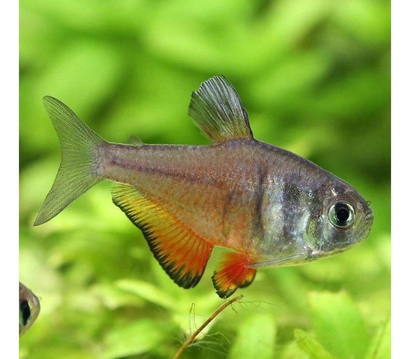 Rode Rio M - Hyphessobrycon Flammeus