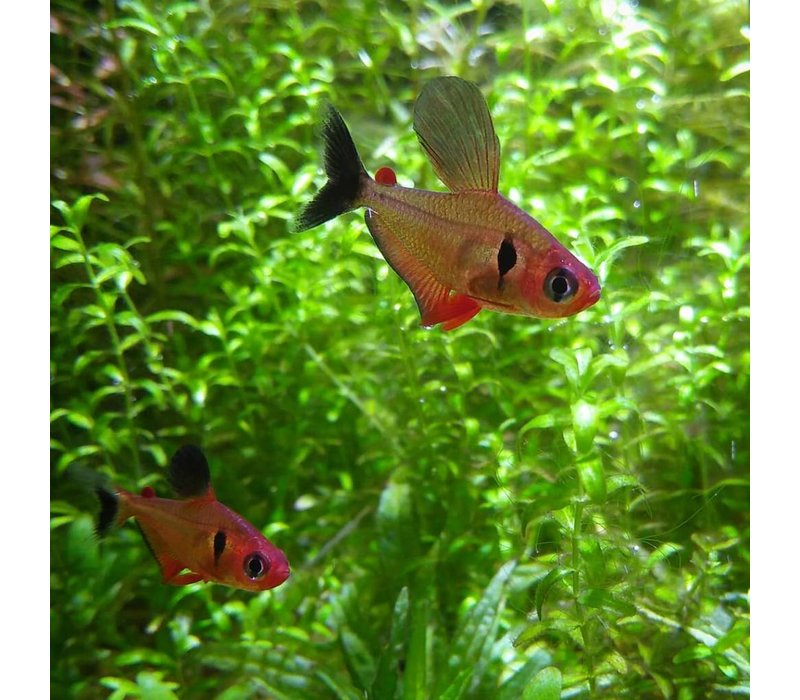 Red Phantom Tetra - Megalamphodus Sweglesi