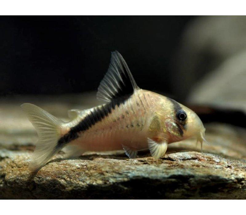 Corydoras Melini