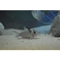Corydoras Melanistius