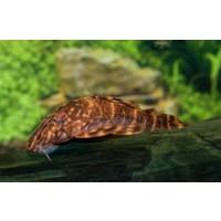 Peckoltia Vittata (L015)