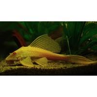 Sailfin Pleco Albino - Glyptoperichthys Gibbiceps