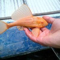 Zeilvin Pleco Goud - Glyptoperichthys Gibbiceps