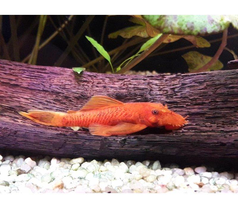 Ancistrus (Super Red) - Ancistrus Temmincki (L144)